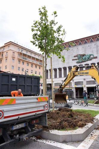 I nuovi platani in piazza del Municipio (foto Simone Lanari)