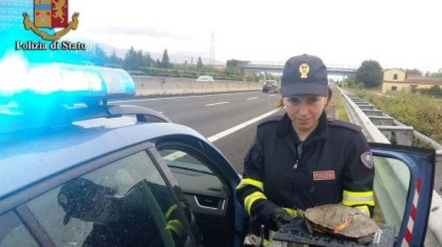 La tartaruga salvata dalla polizia stradale