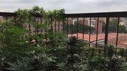 Le piante di marijuana sul balcone