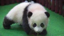 Baby-panda (Ansa)