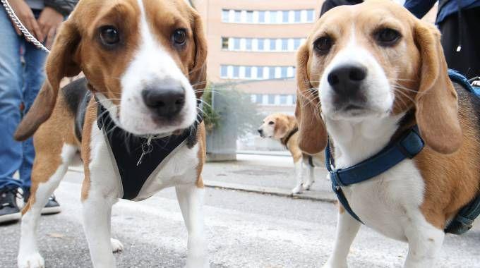 Beagle (Fotolive)