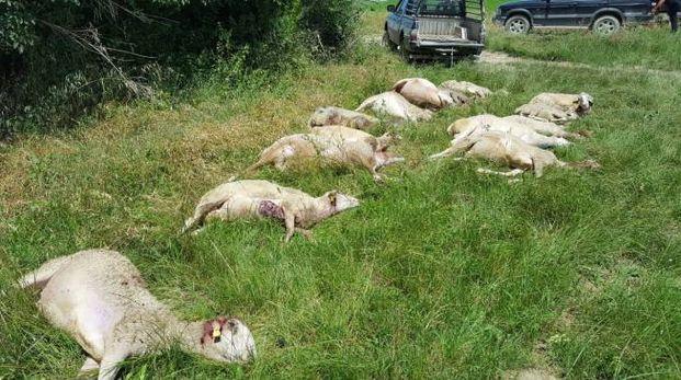 Le pecore sbranate dai lupi