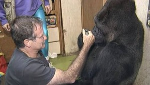 La gorilla Koko incontra Robin Williams (YouTube)