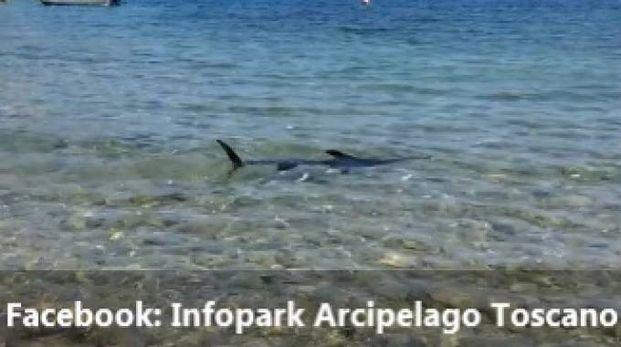 Il pescespada avvistato a riva a Giannutri