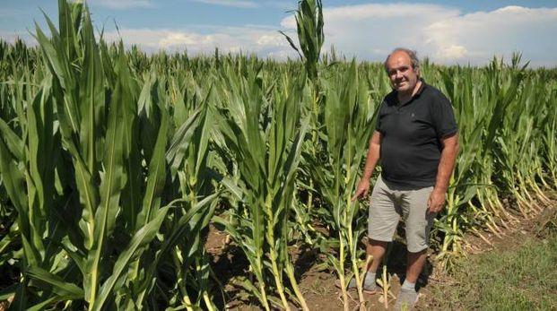 Riccardo Bellaviti mostra i danni ai campi di mais