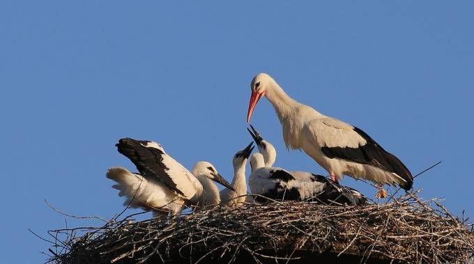 Le cicogne accudiscono i piccoli nel nido