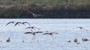 Questi meravigliosi pennuti sono uccelli  sociali e vivono in grossi stormi in prevalenza in aree acquatiche (Foto Zani)