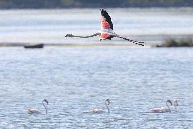 Il loro becco dalla forma ricurva si è adattato appositamente per separare fango e silice dal cibo che consumano e questi uccelli lo usano, unici nel loro genere, in posizione capovolta (Foto Zani)