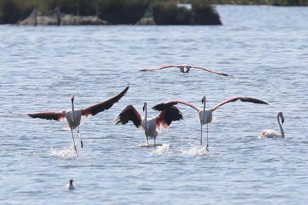 I fenicotteri rosa sono tornati a Ravenna (Foto Zani)