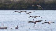 I fenicotteri rosa sono tornati a Ravenna , nella pialassa Baiona, la valle salmastra a ridosso di Marina Romea (Foto Zani)
