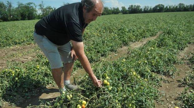 Renato Bellaviti mostra i danni alle piante dei pomodori