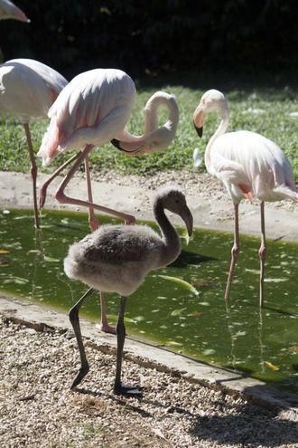 I fenicotteri rosa appena nati