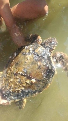 Qui una Tartaruga ferita da l'elica di un natante