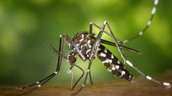 Una zanzara comune, principale vettore di trasmissione del virus (Dire)