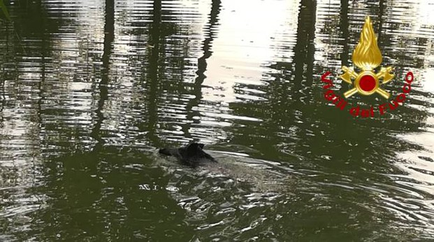 Cinghiale finisce in Arno