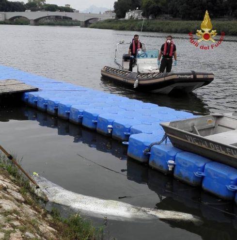 Carcassa di pesce siluro recuperata in Arno