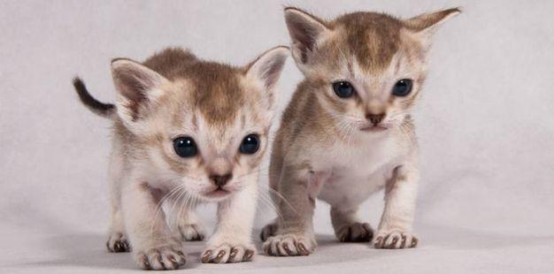 I Singapura sono i gatti più piccoli al mondo: restano sempre cuccioli