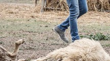 Pecore sbranate dai lupi  (Paolo Lazzeroni)