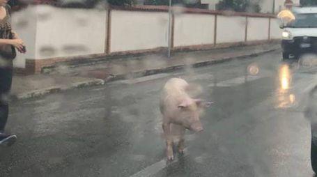 Il maiale a spasso per la via Francesca Nord a Castelfranco