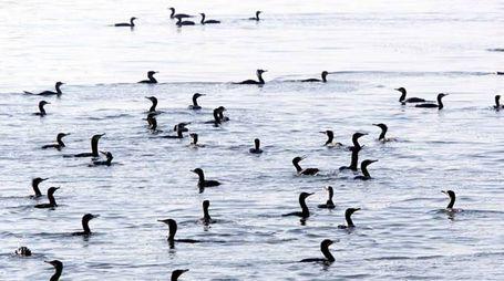 Colonia di cormorani