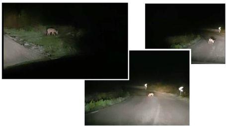 Giovani lupi a spasso per la strada tra Pallino e Montefabbri, alle porte d'Urbino
