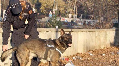 Il cane Narco mentre effettua una perlustrazione  con una agente della polizia locale nei giardinetti pubblici della città