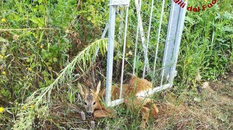 Un capriolo rimasto incastrato in un cancello e salvato dai vigili del fuoco
