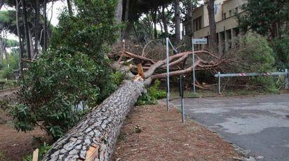 L'albero caduto a Viareggio (foto Umicini)