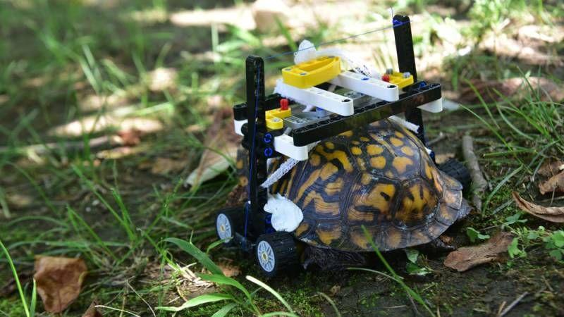 Risultati immagini per La tartaruga che va in giro con una sedia a rotelle fatta di Lego foto