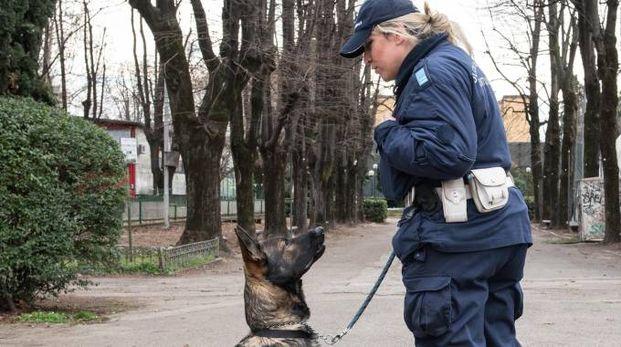 Il cane Grey dell'unità cinofila della Municipale, che nella struttura ha scovato 5 grammi di eroina, 25 di cocaina e 1 di hashish