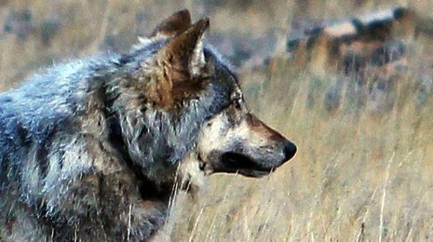 Un lupo (foto di repertorio AP)