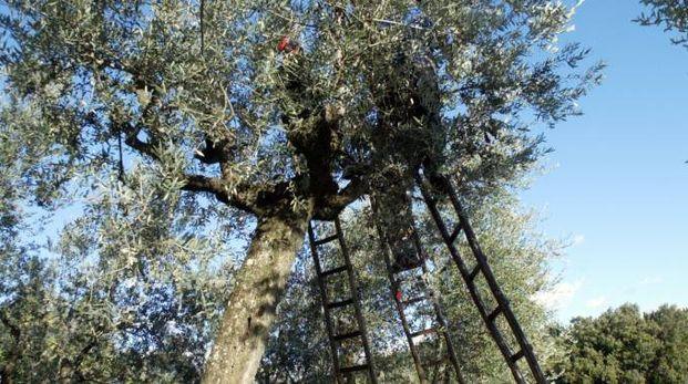 Un olivo (Germogli)