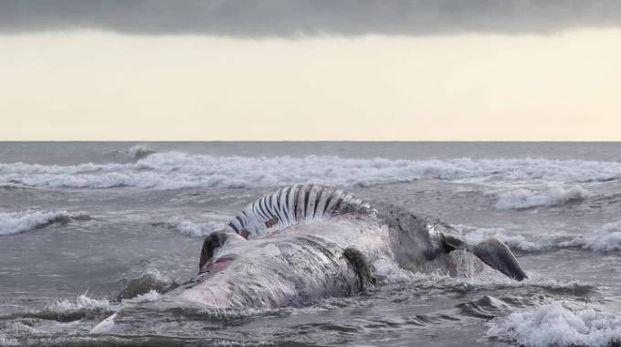 Una balena spiaggiata in una foto di repertorio LaPresse