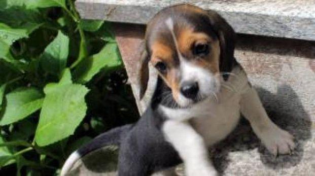 Cucciolo di beagle