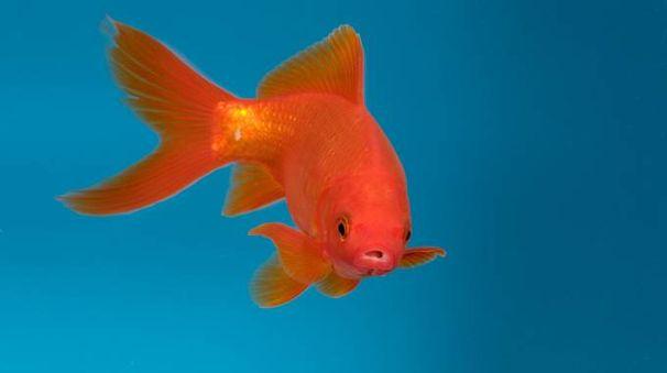 il test di einstein a chi appartiene il pesce rosso