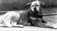 Hachiko in una foto dell'epoca. E' diventato un simbolo di amore e fedeltà