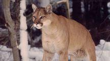 Puma in una foto del WWF