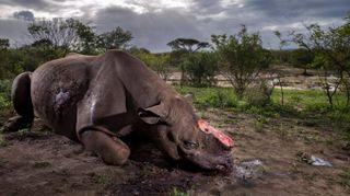 Wildlife, il rinoceronte mutilato è la foto del 2017