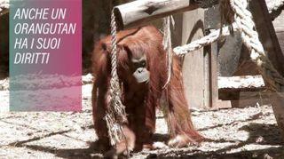 Diritti degli animali: un orangutan in tribunale
