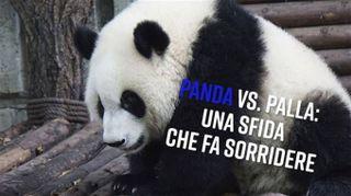 Giocare a palla? Per un panda non è semplice...