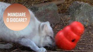 Come si fa a stimolare gli animali in cattività?