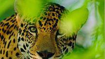 Giaguaro in una foto del WWF