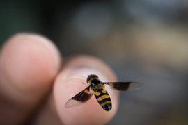 Con api, vespe e calabroni l'insidia mette le ali