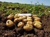 """Romagnoli spinge su ricerca e innovazione  """"Le patate protagoniste dell'emergenza"""""""