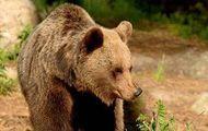 Aggredì papà e figlio:   è un'orsa di 14 anni