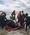 Balene spiaggiate, non resta che l'eutanasia
