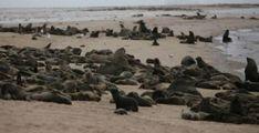 Spiaggiati 12mila cuccioli di foca  Le madri malnutrite li hanno abbandonati