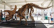 Ecco il triceratopo più grande di sempre  A Trieste riassemblato scheletro da record