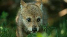 Cucciolo di lupo in una foto del Wwf