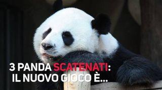 Una lotta tra panda... davvero 'polare'!